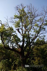 Windy-Row-Treeworks_Ash_Tree_Hancock-9156_09-04-14 - ©BLM Photography 2014