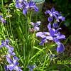 Butterfly Iris