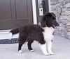 Jamie MacKrimmon, the new Sheltie pup (bi-black)