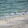 Pelicans and seagulls fishing, seen from our condo balcony, Clearwater Beach, FL, 8/28/2013
