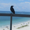Crow on our balcony, Clearwater, Beach, FL, 9/1/2013