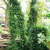 Vine-covered Tree Trunks