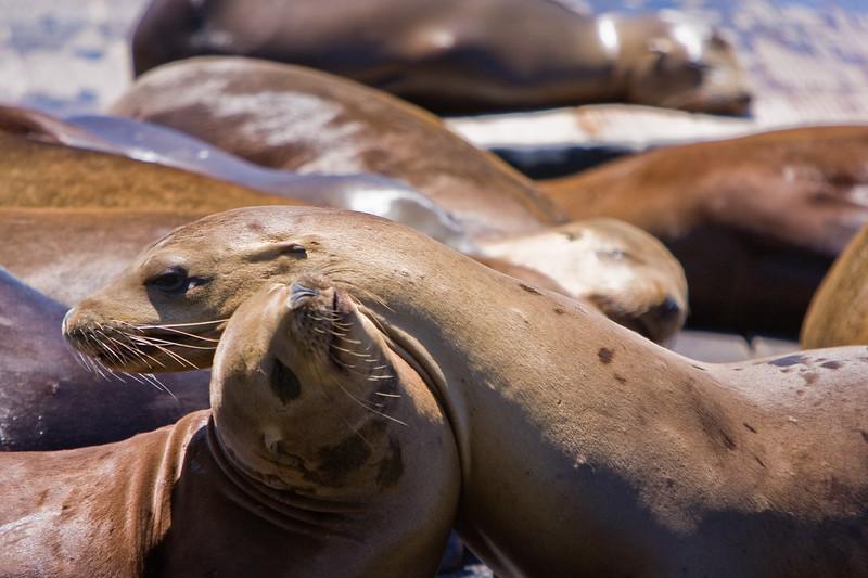 California sea lions at San Francisco's Pier 39