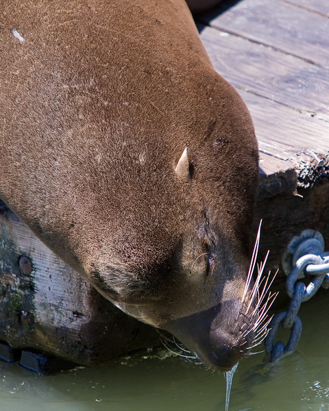 Sea lion's dripping nose