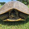 A big turtle I found in one of the fairways