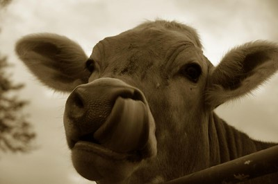 Why cows don't need Kleenex