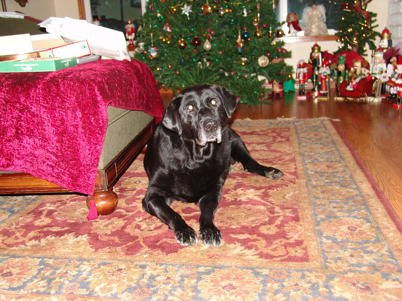 LADYBUG AKA MOOSE.  SHE IS A 120 POUND LABRADOR RETRIEVER WHO SHOWED UP AT MY FRONT DOOR 4 YEARS AGO AND STILL HASN'T GONE HOME.