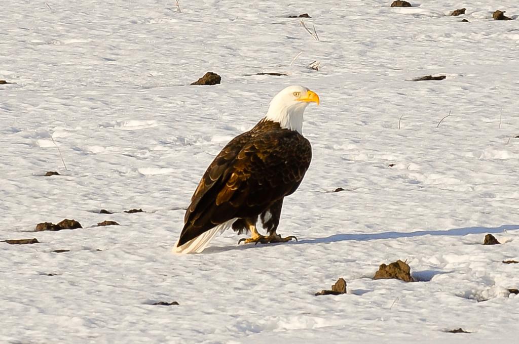 Bald eagle outside of Ortonville, MN