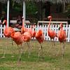 flamingo show