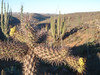 KM84 s. of El Rosario. We have visited the same cactus garden on every trip for years.