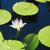 Lily Pads - Botanic Gardens