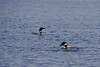 Loons on Bay Lake