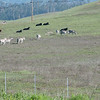 A herd of zebras grazing with cattle on Hearst ranch land. San Simeon, CA