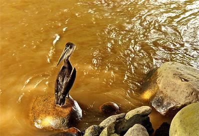 Pelican in Puerto Vallarta