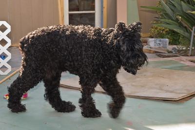 Schatzie, Tami's giant schnauzer. She's BIG!