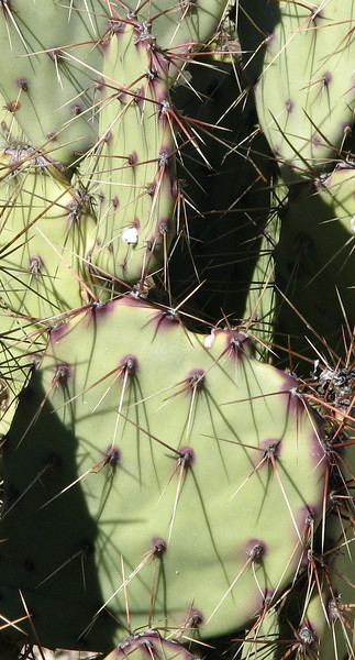 11. prickly pear