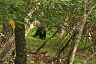 da bear...from @ 50 feet... Yikes!