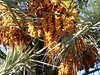 9  date palm cluster