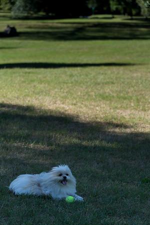 My little dog in his favorite spot: Long Meadow, Prospect Park,September 2, 2016.