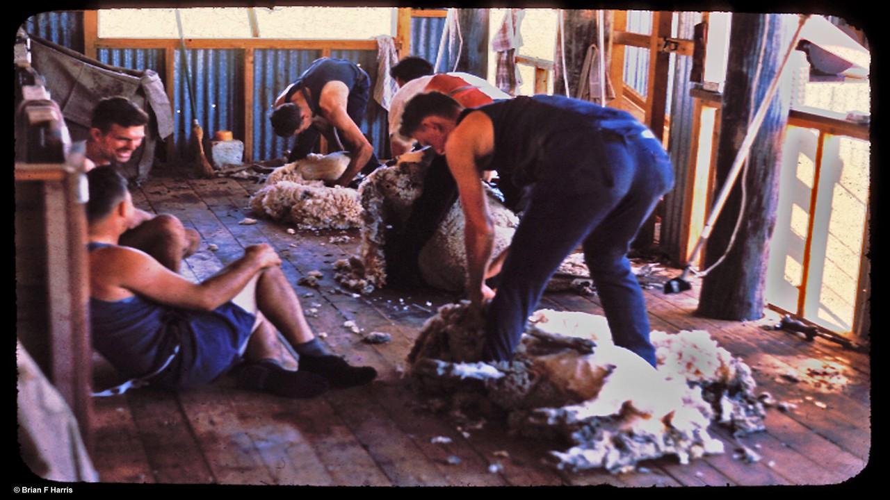 Shearing in Chinchilla area. Left,smiling Vin Wilshire. Shearet on right Bill Harris, Turnabulla Stn. '66