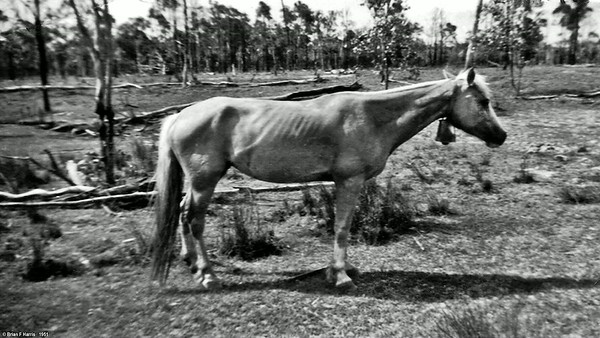 At Boyanda, Persil, one of our three scool ponies we rode through scrub to Barakula State School.