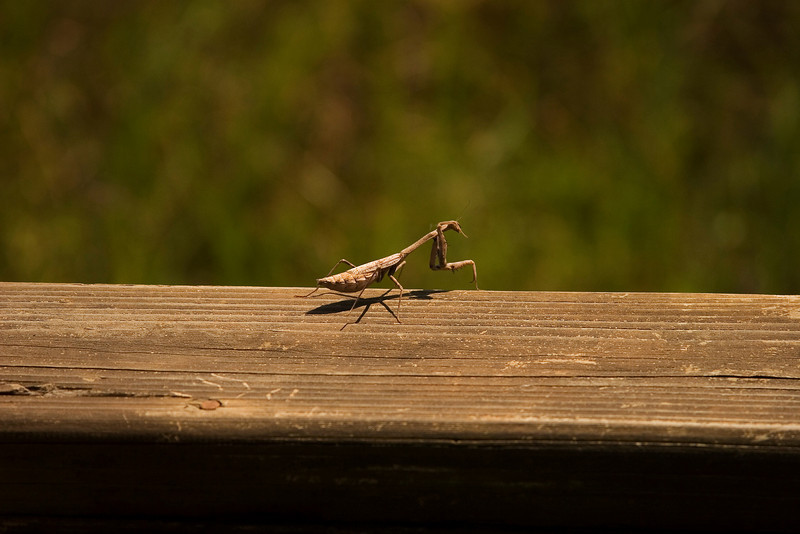 Praying Mantis - Sea Center Texas, Lake Jackson, September 2008