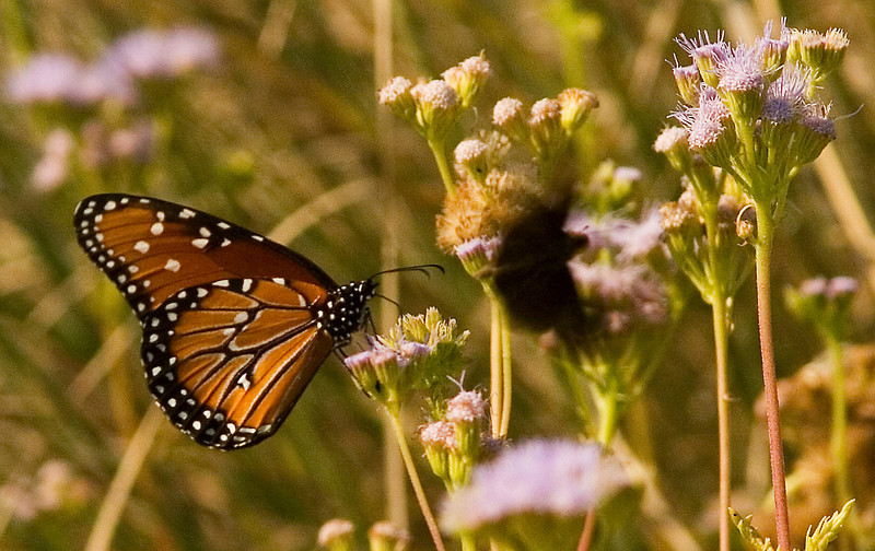 Butterflies - Lady Bird Johnson Wildflower Center, September 2008