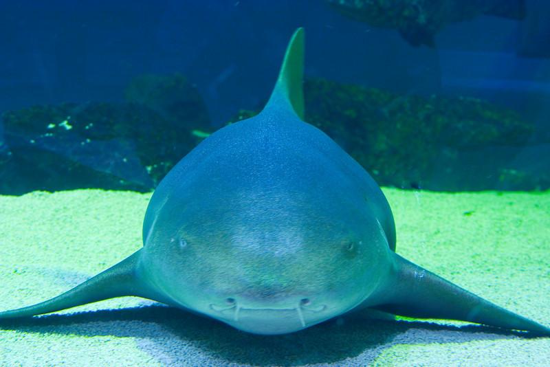 Nurse Shark -  - Sea Center Texas, Lake Jackson, September 2008