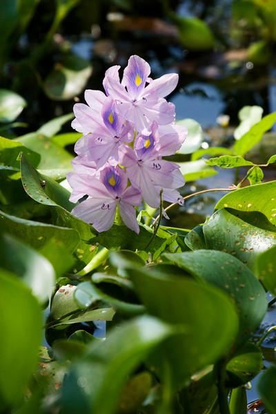 Water Hyacinth - Xtreme Hummingbird Xtravaganza, Lake Jackson, TX, September 2008