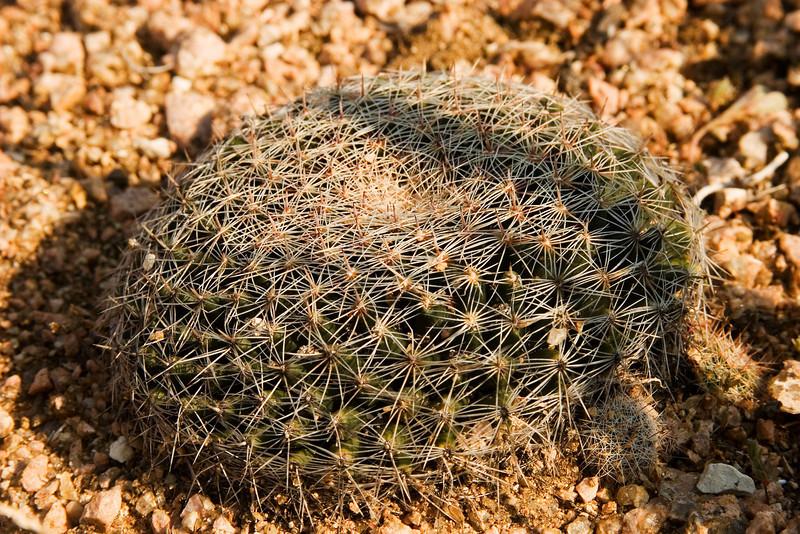 Cactus - Lady Bird Johnson Wildflower Center, September 2008