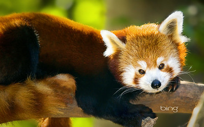 A Red Panda resting on branch