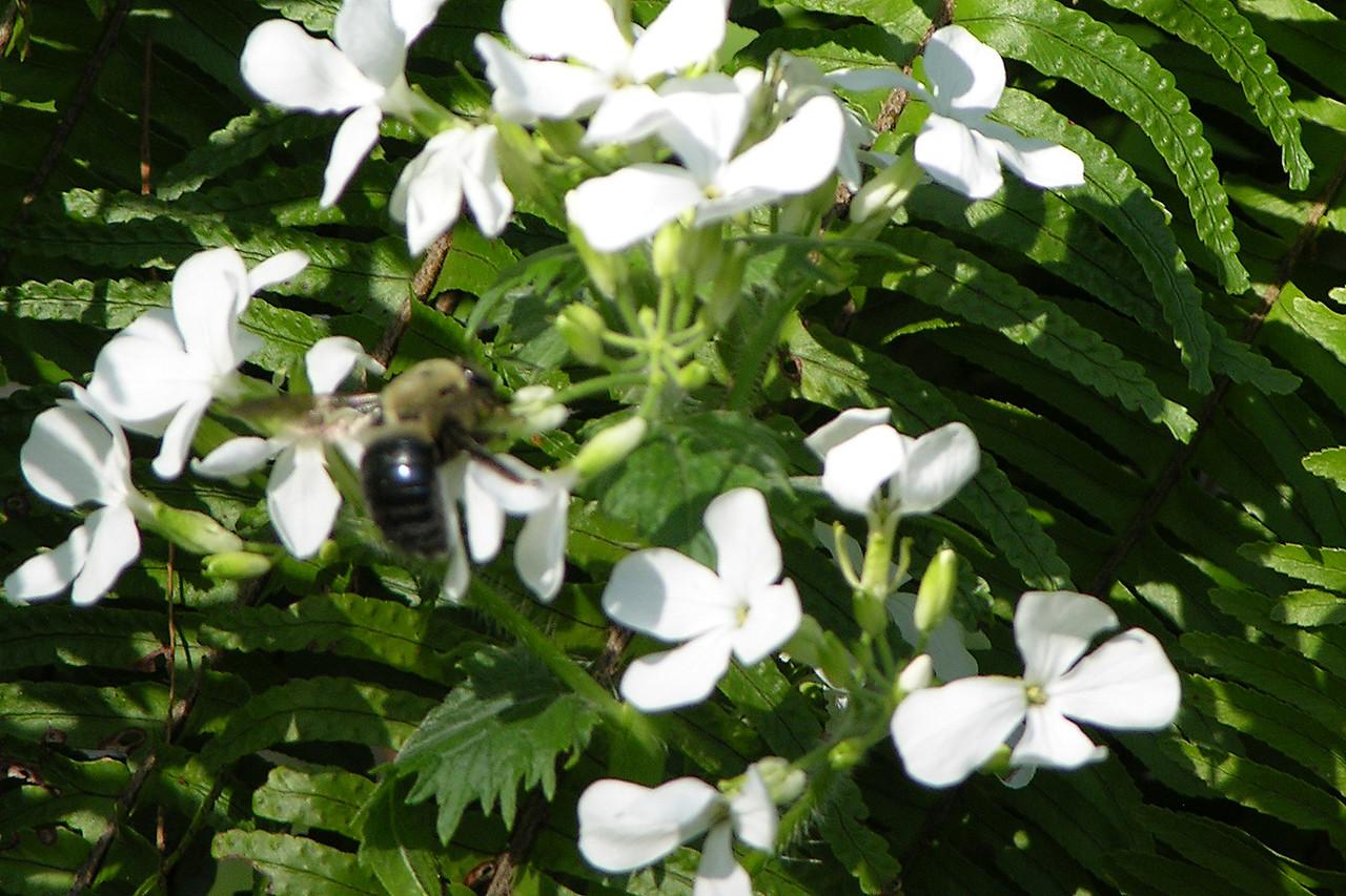 A bumblebee tasting the nectar