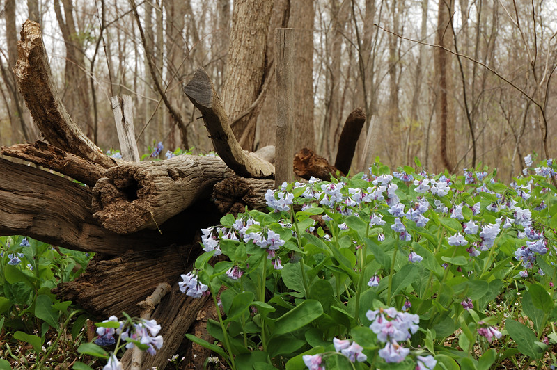 Blue Bells and old logs