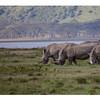White Rhinoceros, Lake Nakuru National Park, Kenya, 1/2
