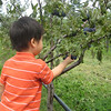 Gavin checking out the purple plums