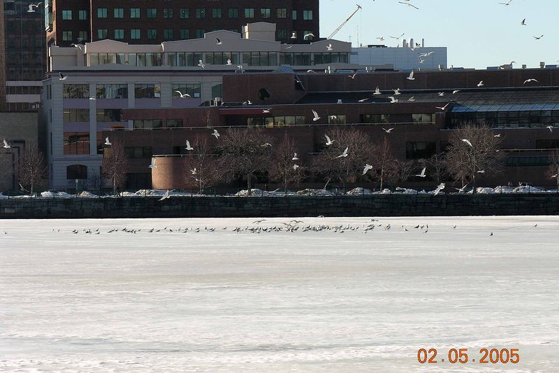 Birds are excited about the warm weather - landing on frozen Charles River