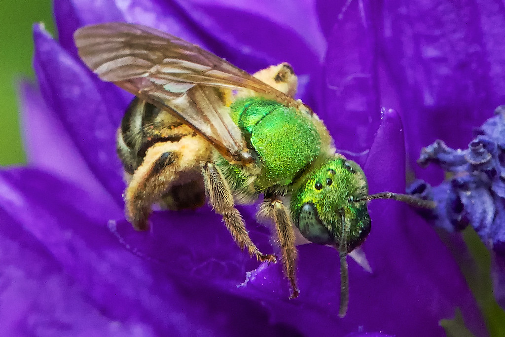 And the green-headed sweat bees were all over the Campanula glomerata