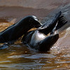 Sea lions tussling
