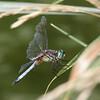 Western Pondhawk (m) (Erythemis collocata)