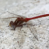 Striped Meadowhawk (m)(Sympetrum pallipes)
