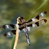 Twelve-spotted Skimmer (m)