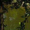 Ducks in Branson creek