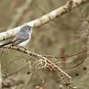 Blue-gray Gnatcacher
