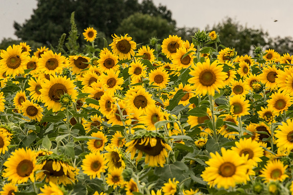 Butler Sunflower Family Session