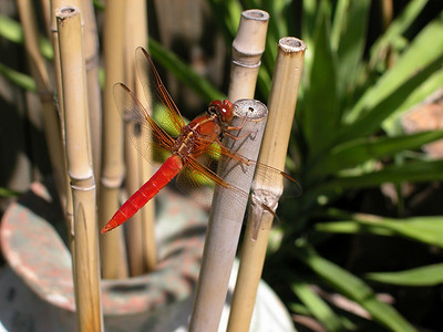 A Texas Hot Pepper Dragonfly... Point & shoot, no Photoshop.  If you can catch em', they are great on nachos!