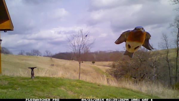 Trailcam Bluebird