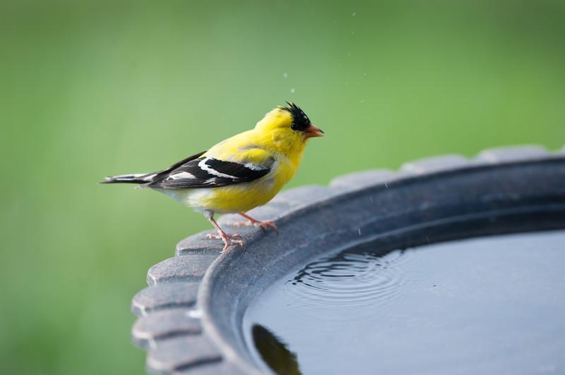 Goldfinch Getting Drink