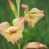 """Gladiolus dahlenii """"Boone"""" cultivar 1922."""