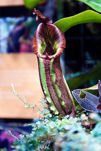 A carniverous plant