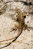 Lizard One